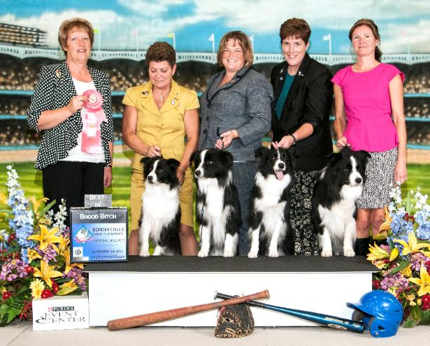 """2013 Best Brood Bitch at the BCSA National Specialty """"Bella"""" and her Progeny Jonesy, Brenna and Louie. V GCh AbFab-Fidelis R Purrfect Double RN PT  """"Bella"""" handled by Co-owner Megan Harrison"""