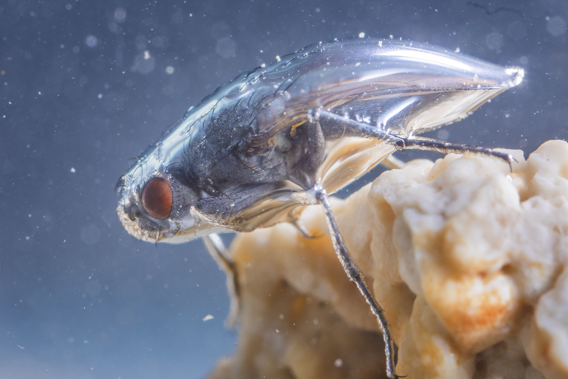 An Alkali Fly (Ephydra hians), under water at Mono Lake, safely wrapped in a protective air bubble.