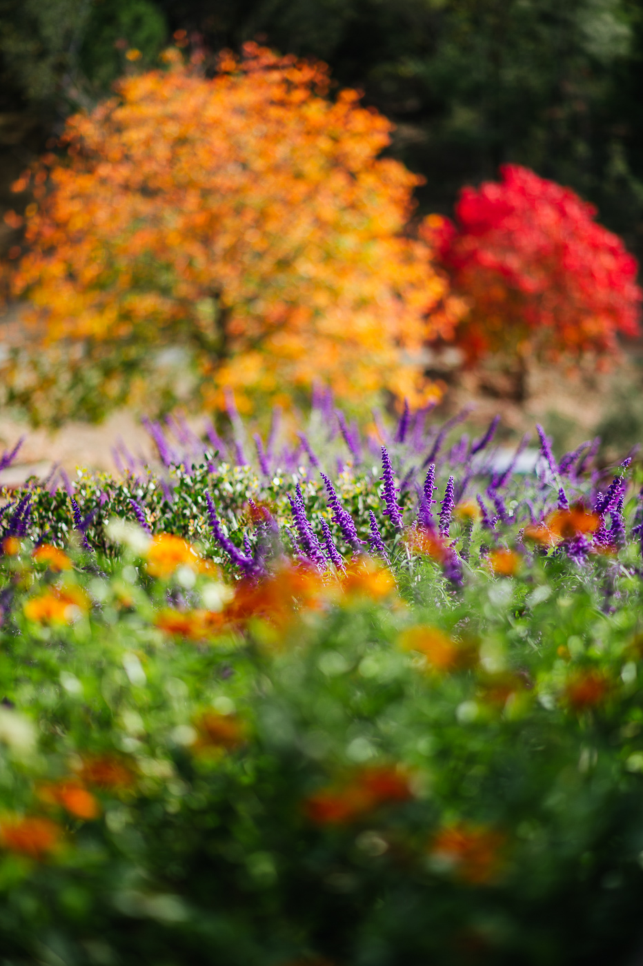 PHOCO Best of 2018 Photograph Fort Collins-52 napa california fall colors flowers red orange purple green.jpg