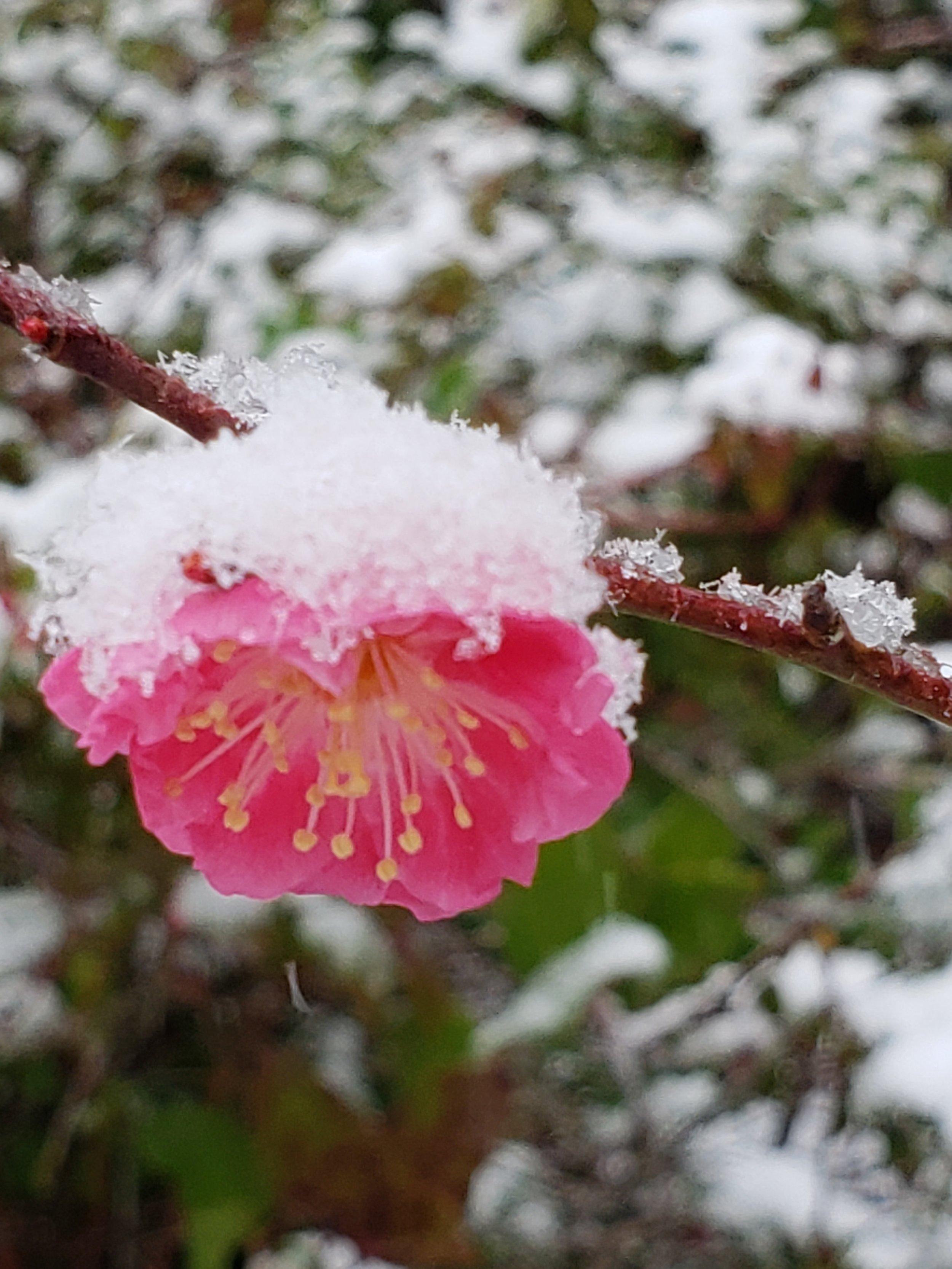 Ume Plum - Prunus Mume