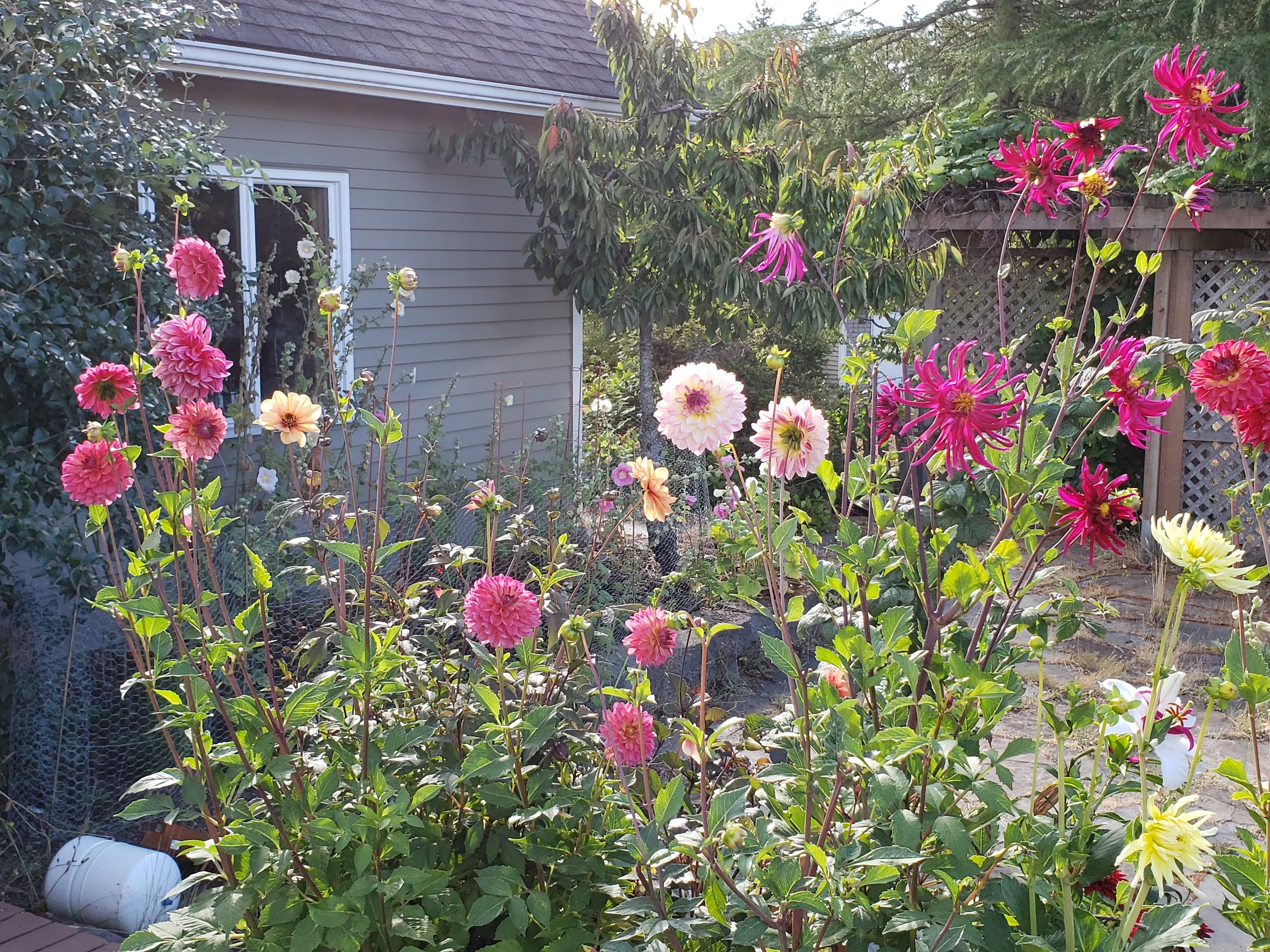 A plethora of dahlias -