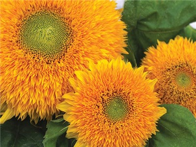 5. Teddy Bear Sunflower