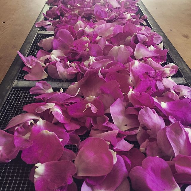 """We can complain because rose bushes have thorns, or rejoice because thorns have roses."" -Karr . . . . #loveislove #plantspiritmedicine #smelltheroses #plantmedicine #roses"