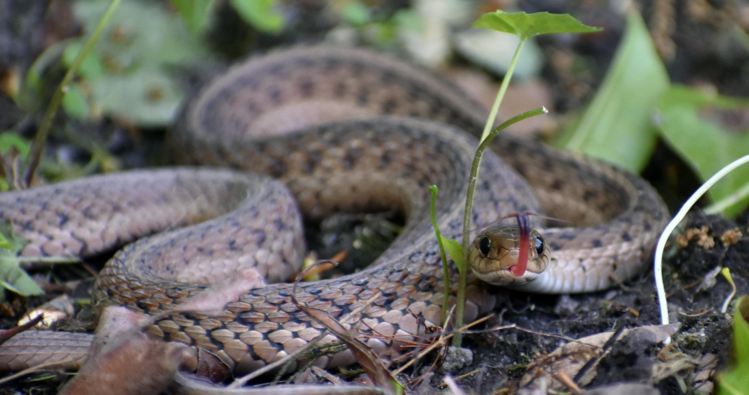 Garter Snake - .