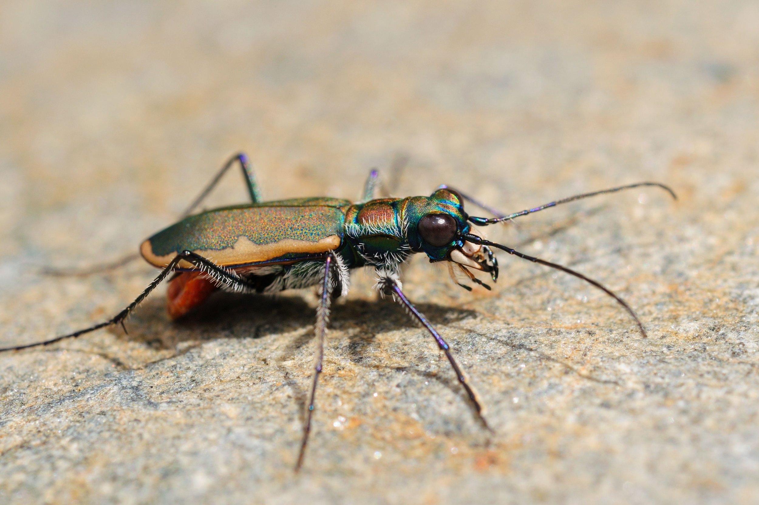 Cobblestone Tiger Beetle - Jonathan Mays.jpg
