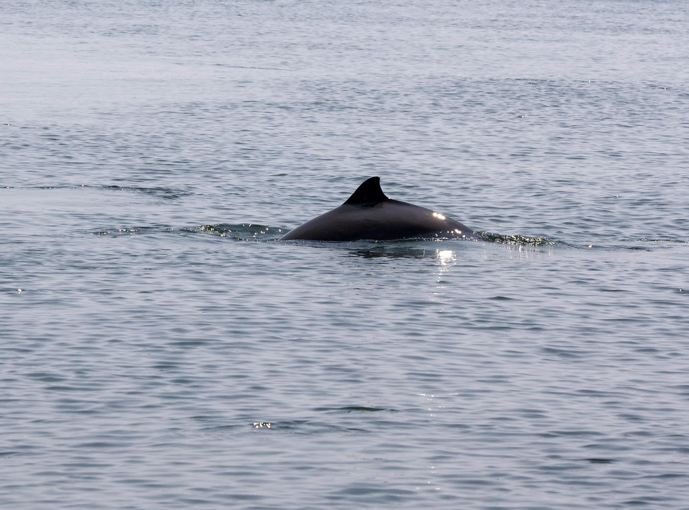 2015_Bradford_Harbour porpoise (Phocoena phocoena).jpg