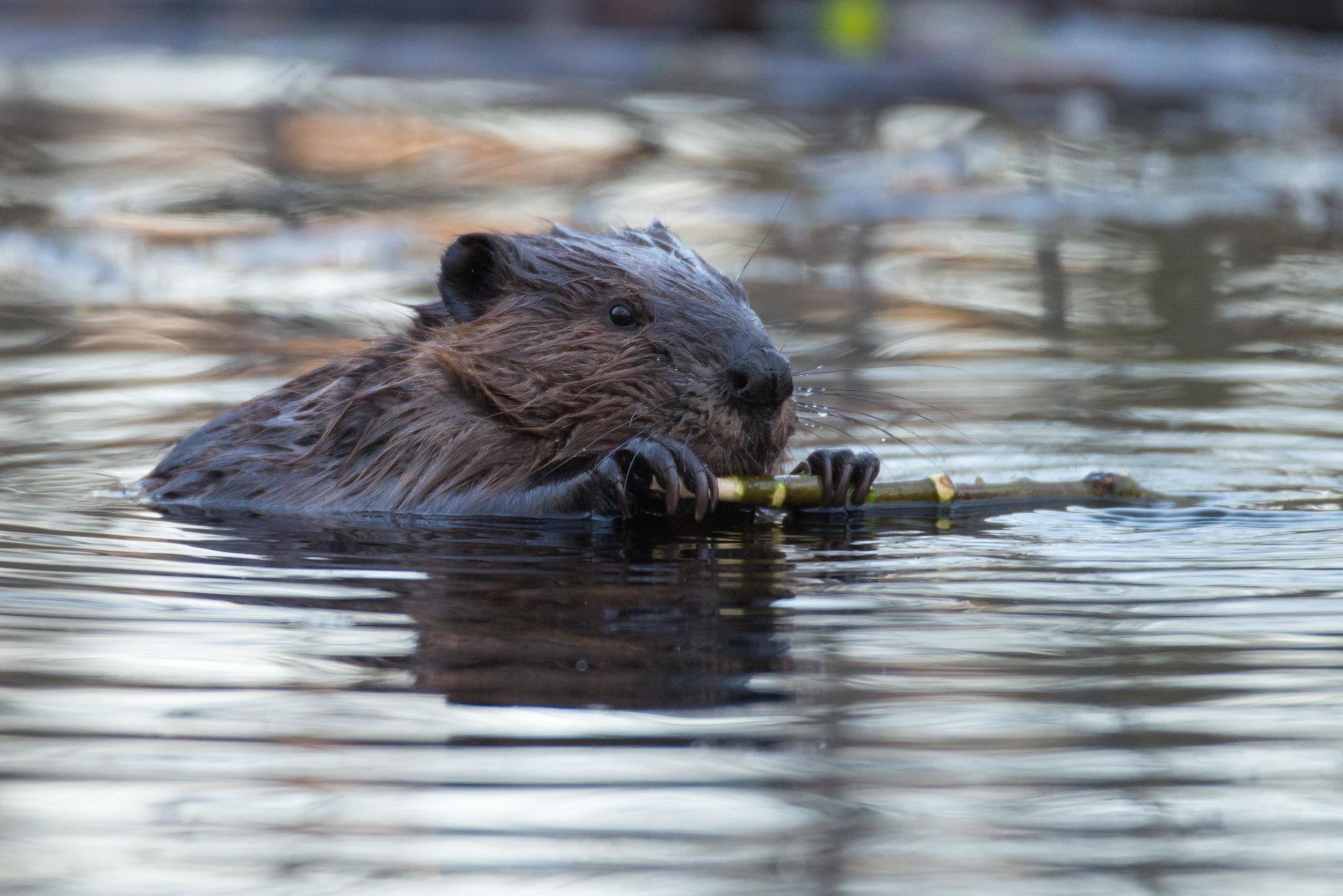 2018 05 Beaver  (1 of 1).jpg