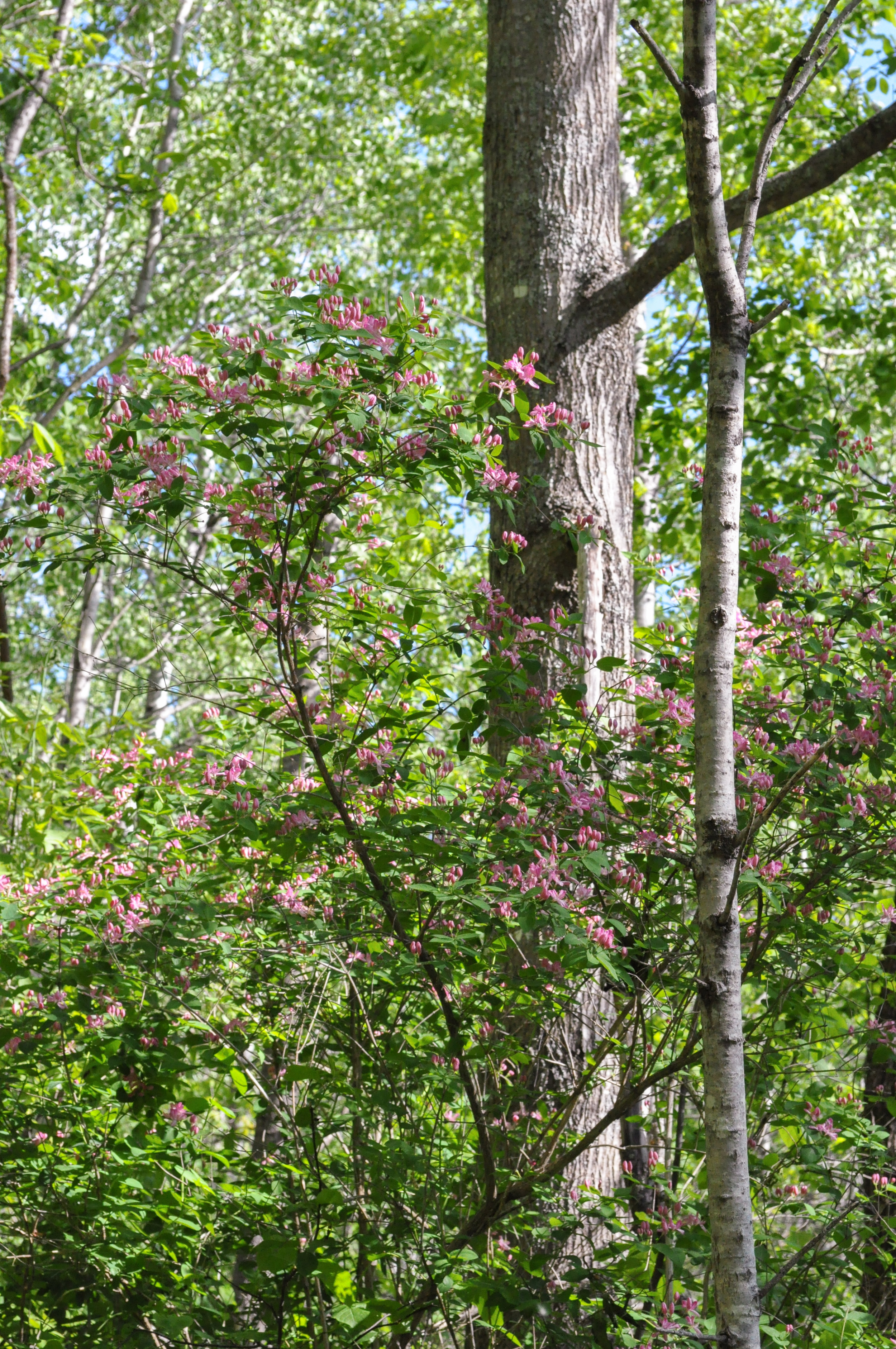2009 Pink Blossoms Forest Scene  (1 of 1).jpg