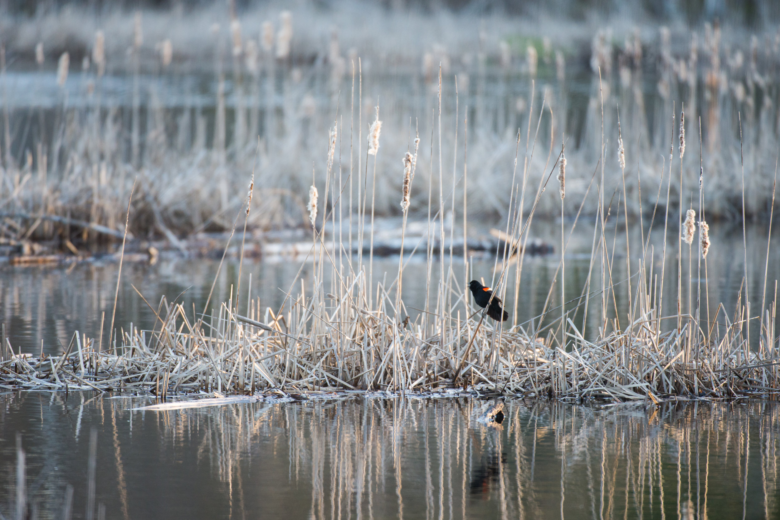 2018 05 Red Winged Blackbird Hyla Marsh  (1 of 1).jpg