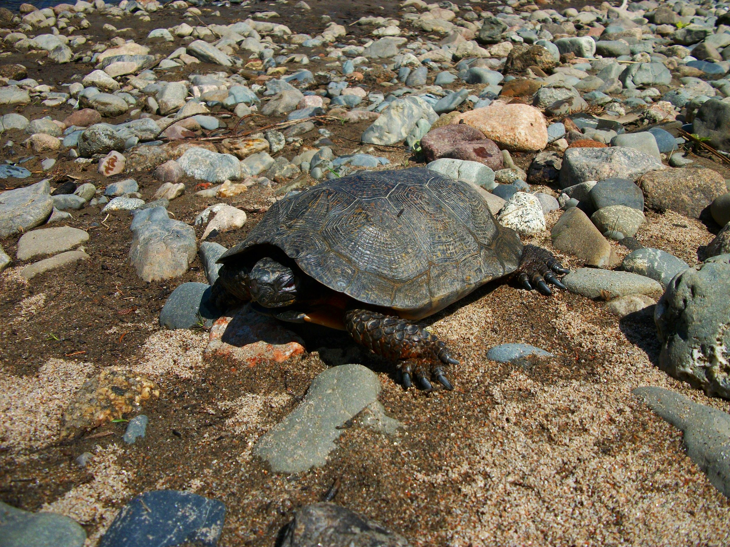 PROTECTING WOOD TURTLES -