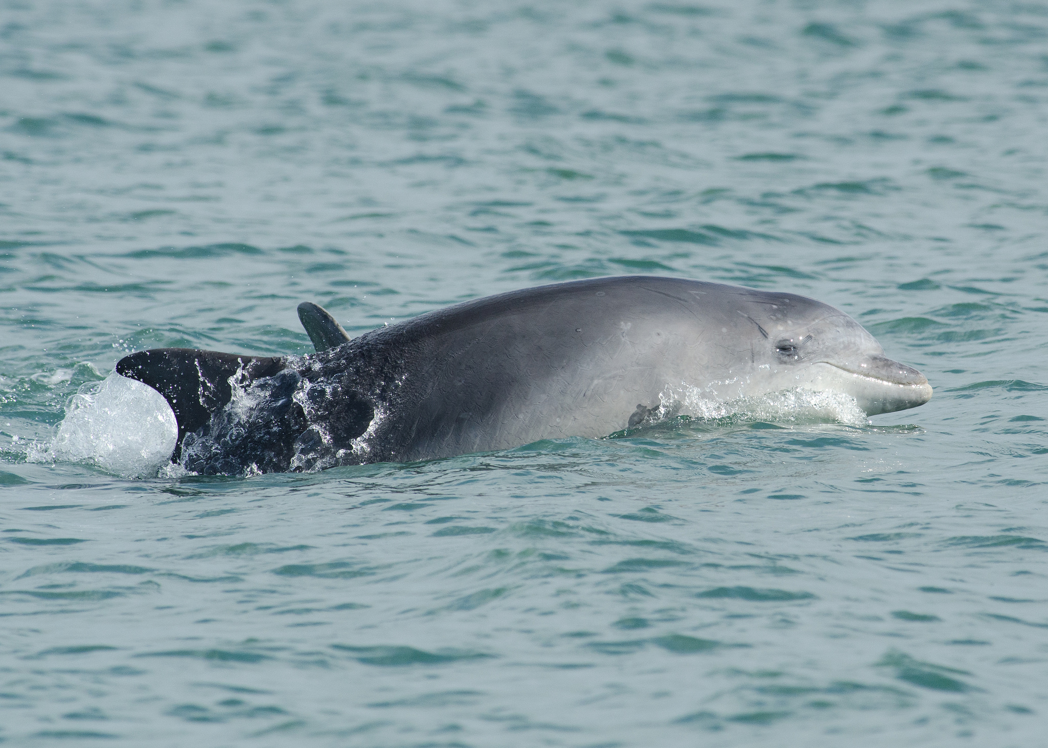 Dolphins close to New Quay,  Ceredigion  by  Shane Jones