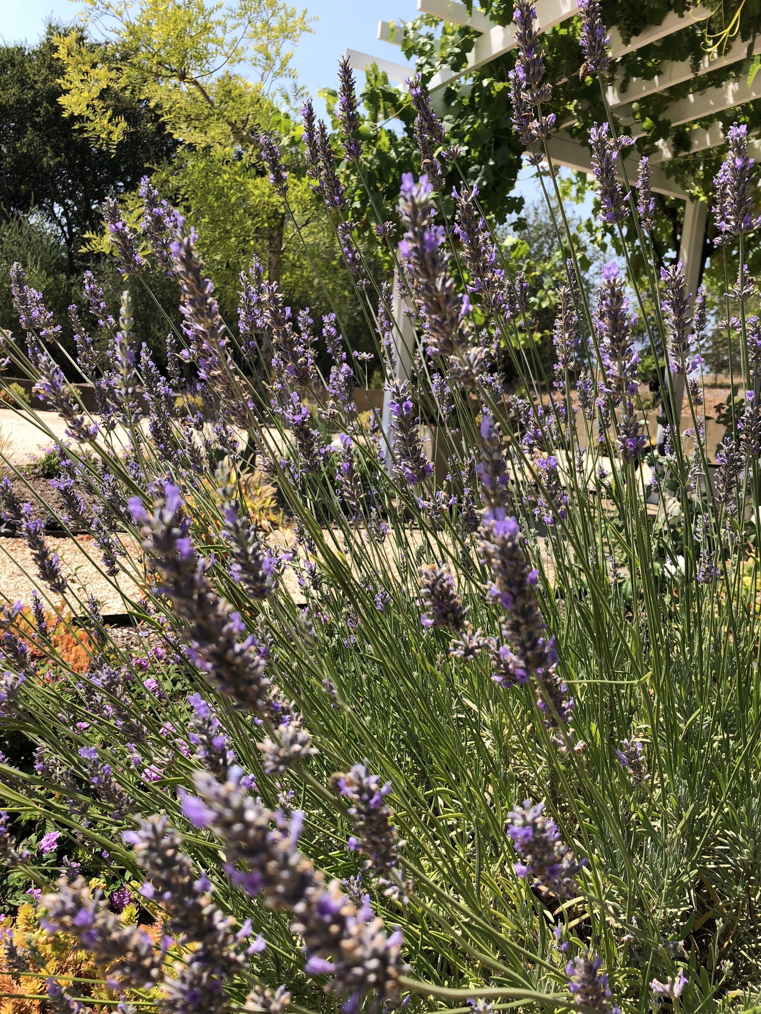 Lavender bush in Glen Ellen, CA. Photo: @gutofintegrity