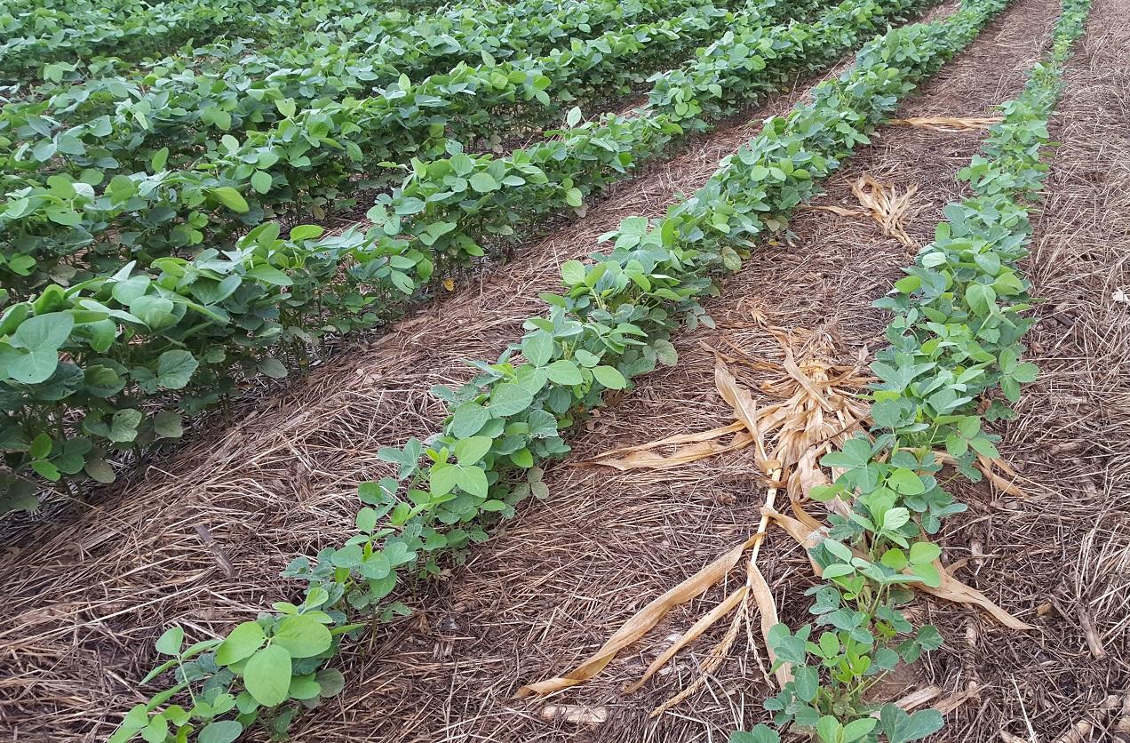 mike-miller-beans-in-cover-crop-residue-2015.jpg