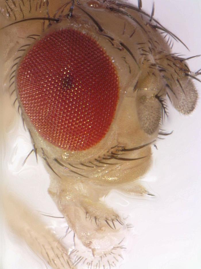 Drosophila head