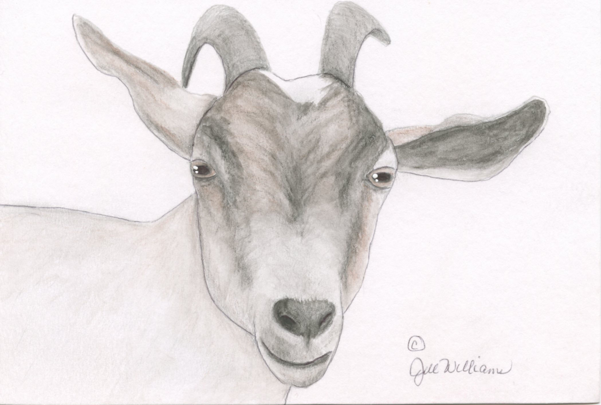 Penelope - One of our dairy girls, Penelope, and model for our unscented goat milk soap.
