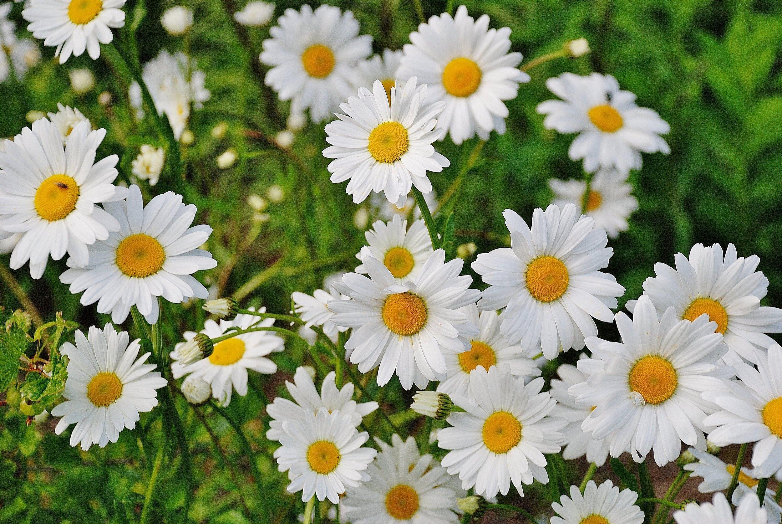 bloom-blossom-daisies-67857.jpg