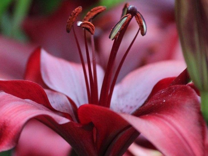 LA Lillies - Assorted