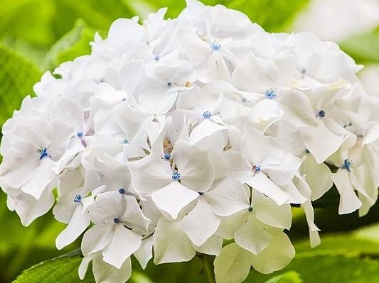 Hydrangea - White, Blue, and Mini Green