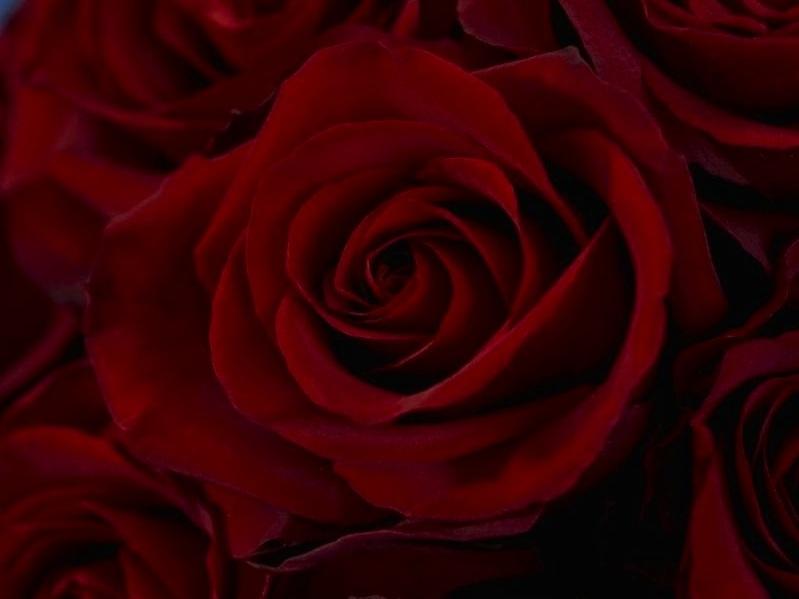 Rosaprima Roses - (Assorted Colors)