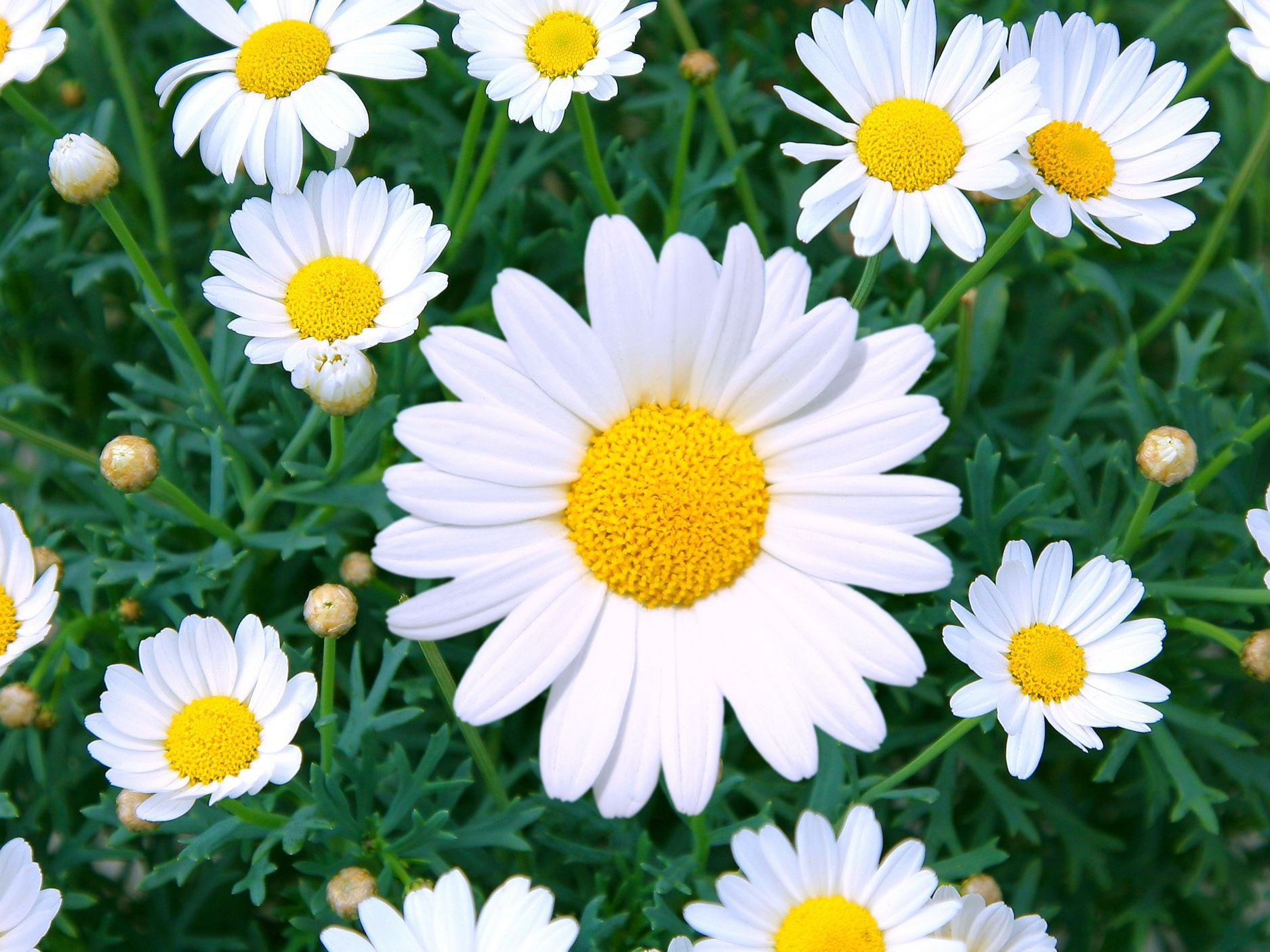 Daisy - Yellow, White and Lavender
