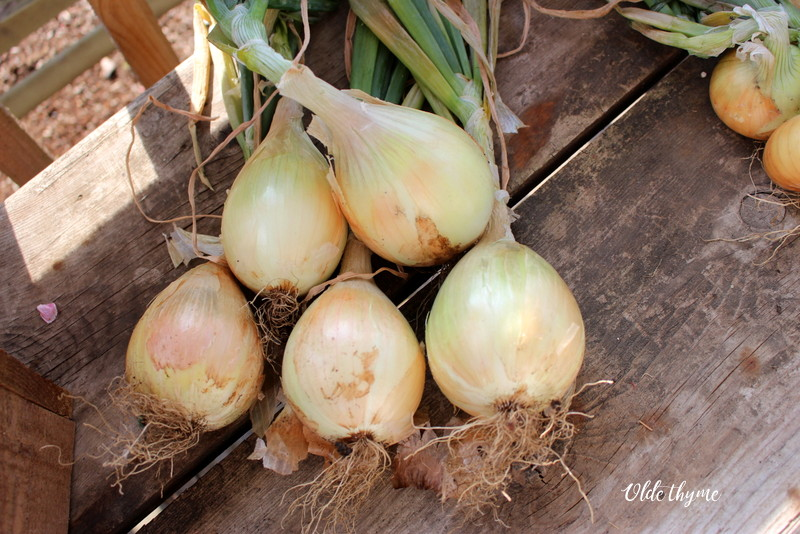 Organically grown onions.