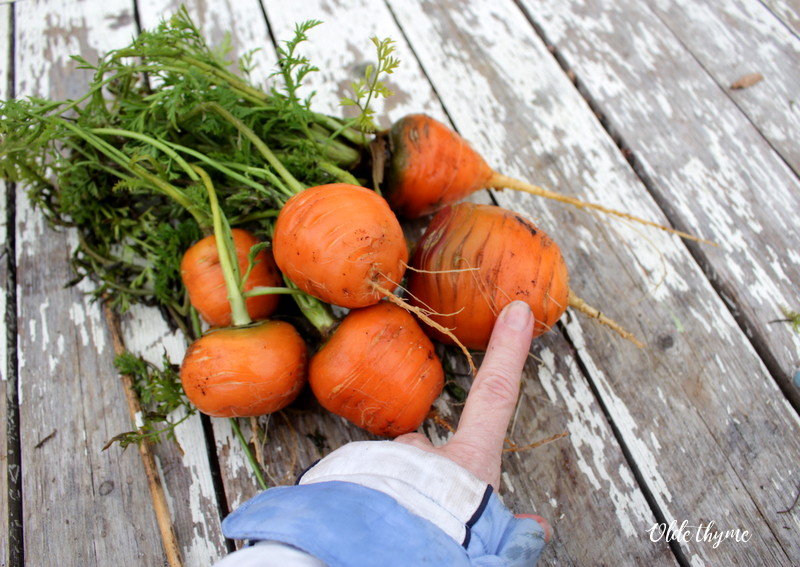 Romeo carrots were planted in early July and harvested all winter long. This picture was taken on December 18th.
