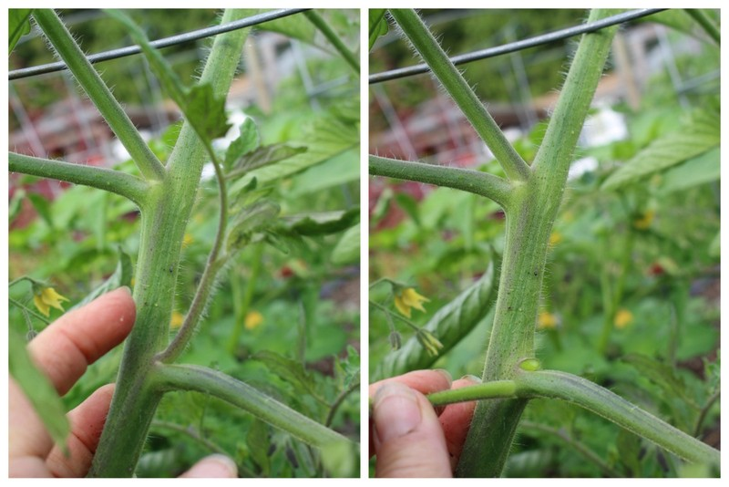 There are two suckers in this picture that need to be removed… the one beside my finger that you can see me snap off in picture #2 and one right above my finger, the sucker that is growing between the main stem of the tomato and the branch.