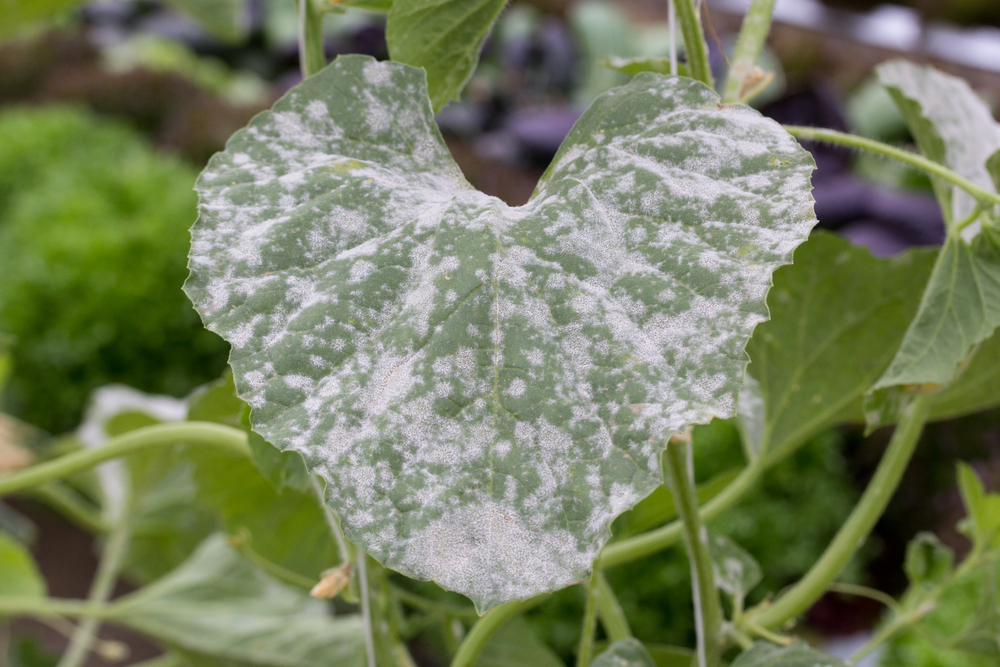 Thankfully, not my picture,  not my mildew… but this is mildew on a squash plant.