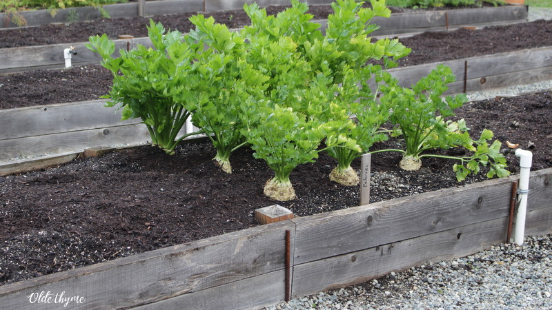 Both celery and celeriac can be left in the garden to be harvested as needed. In this picture the plants at the back are celery, the ones with the big white root are the celeraics.