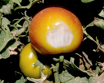 tomato_sunscald.jpg