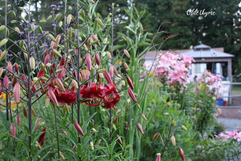 I have an assortment of tall lilies in this bed to draw the eye. I choose a bunch of different tall and stately lilies that bloom at different times of the year … great colour for most of the year.