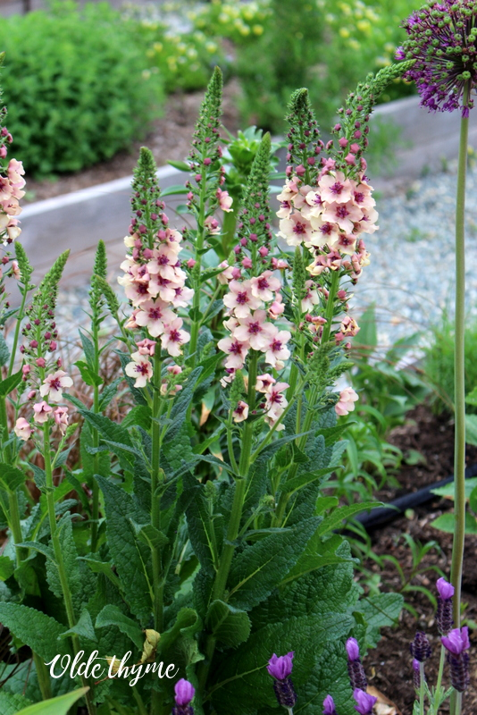 Verbascum can be grown from seed or starter plant. Southern Charm comes in soft hues of lavender, peach, rose, and cream.