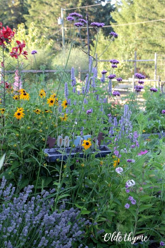 Lavender, anise hyssop, rudbeckia, verbena bonariensis, martagon lilies,