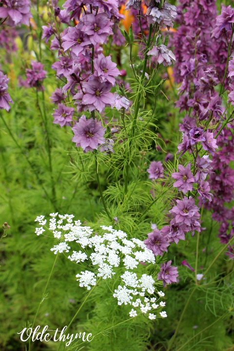 Larkspur Earl Grey and Ammi Majus 'Bishop's Lace' are both available at Renee's in seeds.