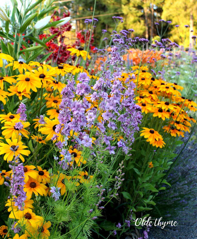 A different rudbeckia, Earl Grey larkspur, red and orange lilies in back.