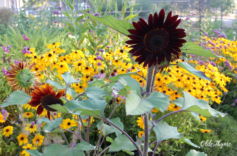 Rudbeckia is bold and bright, really catches the eye and blooms for a really long time. Sunflowers, like this Chocolate Cherry, add silvery green foliage and a dark pop to really pull the eye.