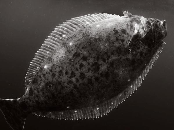 fish_halibut.png