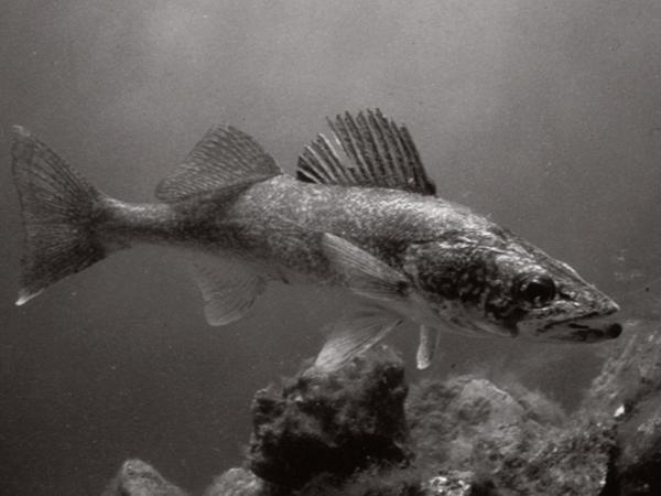 fish_walleye.png