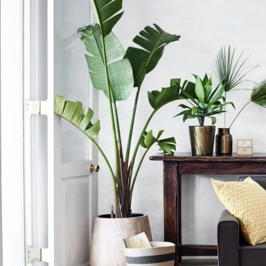 Large plant - Kitchen Table