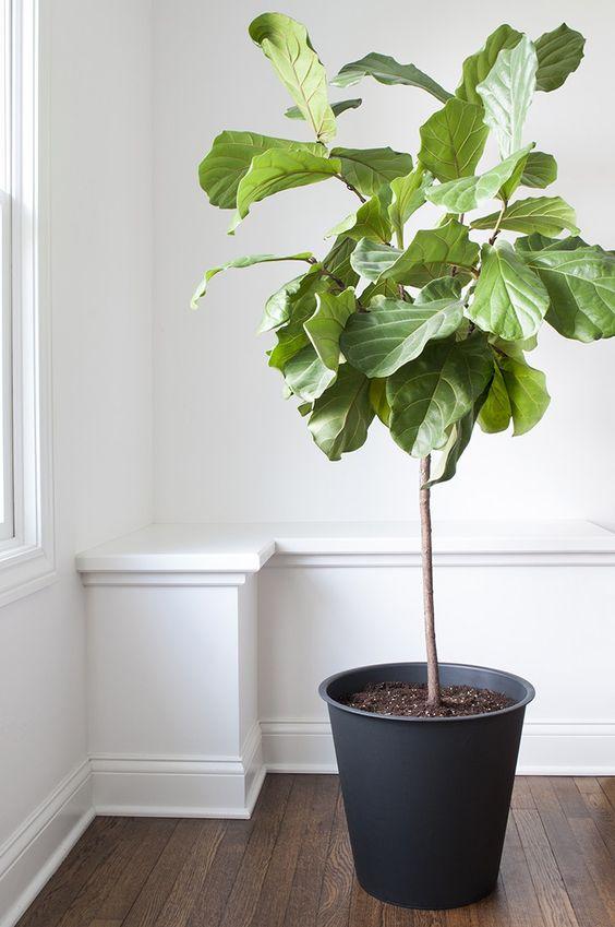 fiddle leaf fig tree.jpg