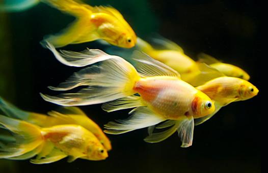 gold fish.jpg