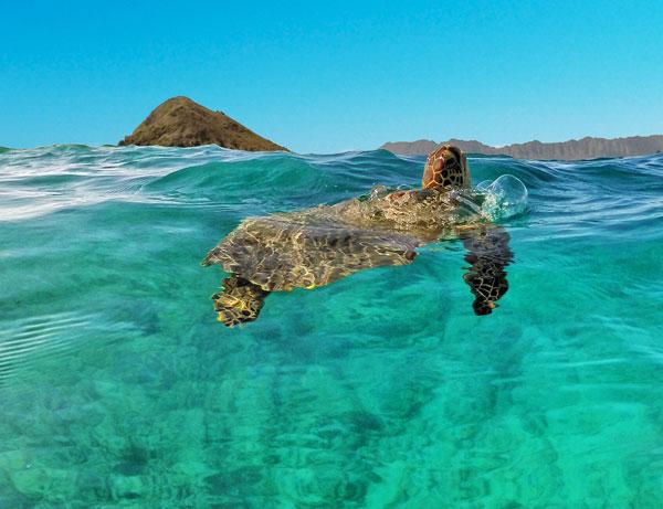 Kailua Sea Turtle