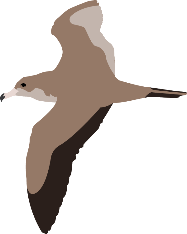 wedge-tailed-shearwater.png
