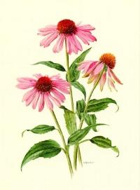 9d26ac11f7045a26a91820f77ae2af80_echinacea-art-1972-vintage-purple-coneflower-poster-botanical-art-echinacea-botanical-drawing_570-774.jpeg