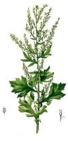 ArtemisiaVulgaris.jpg