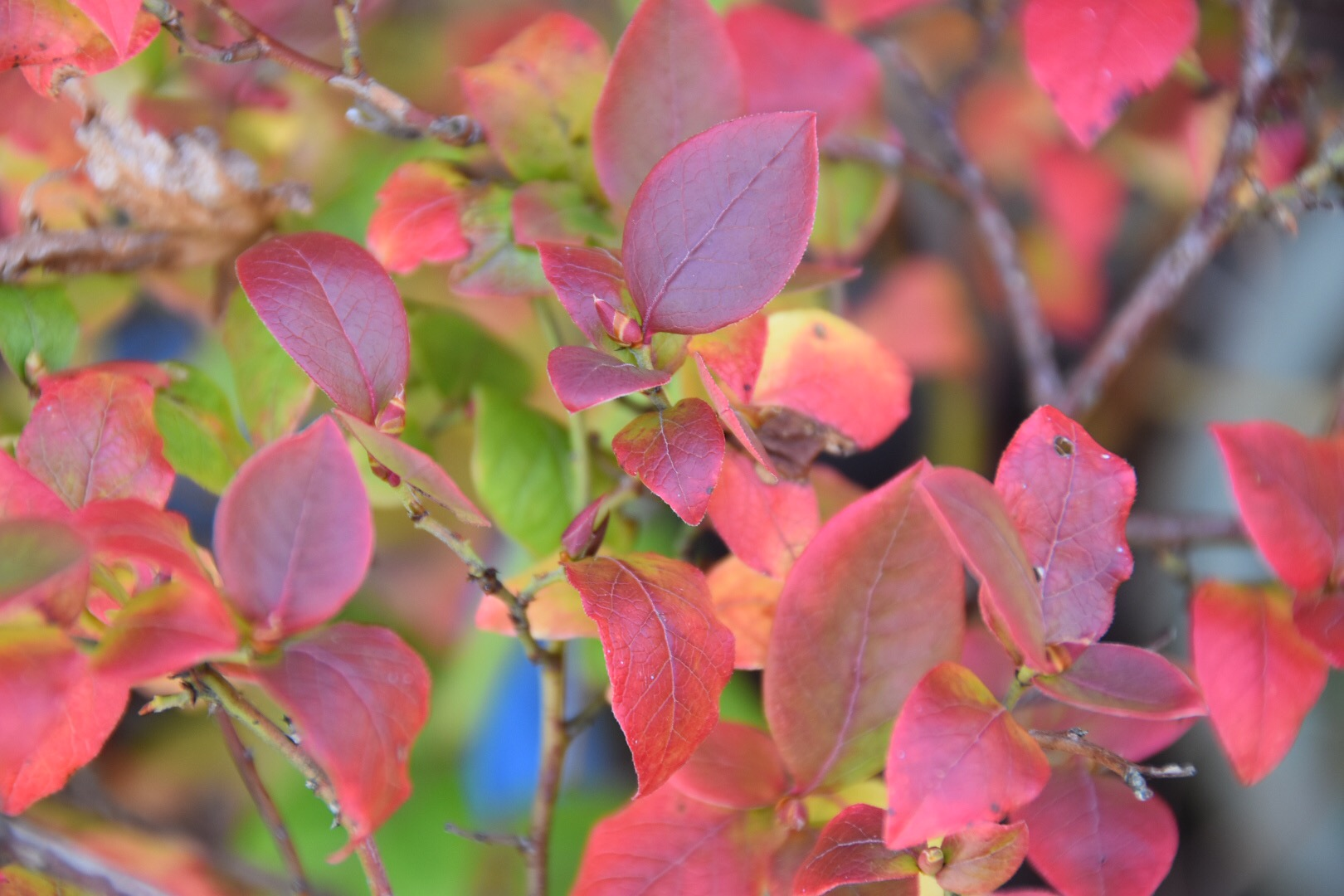 Blueberry autumn leaves