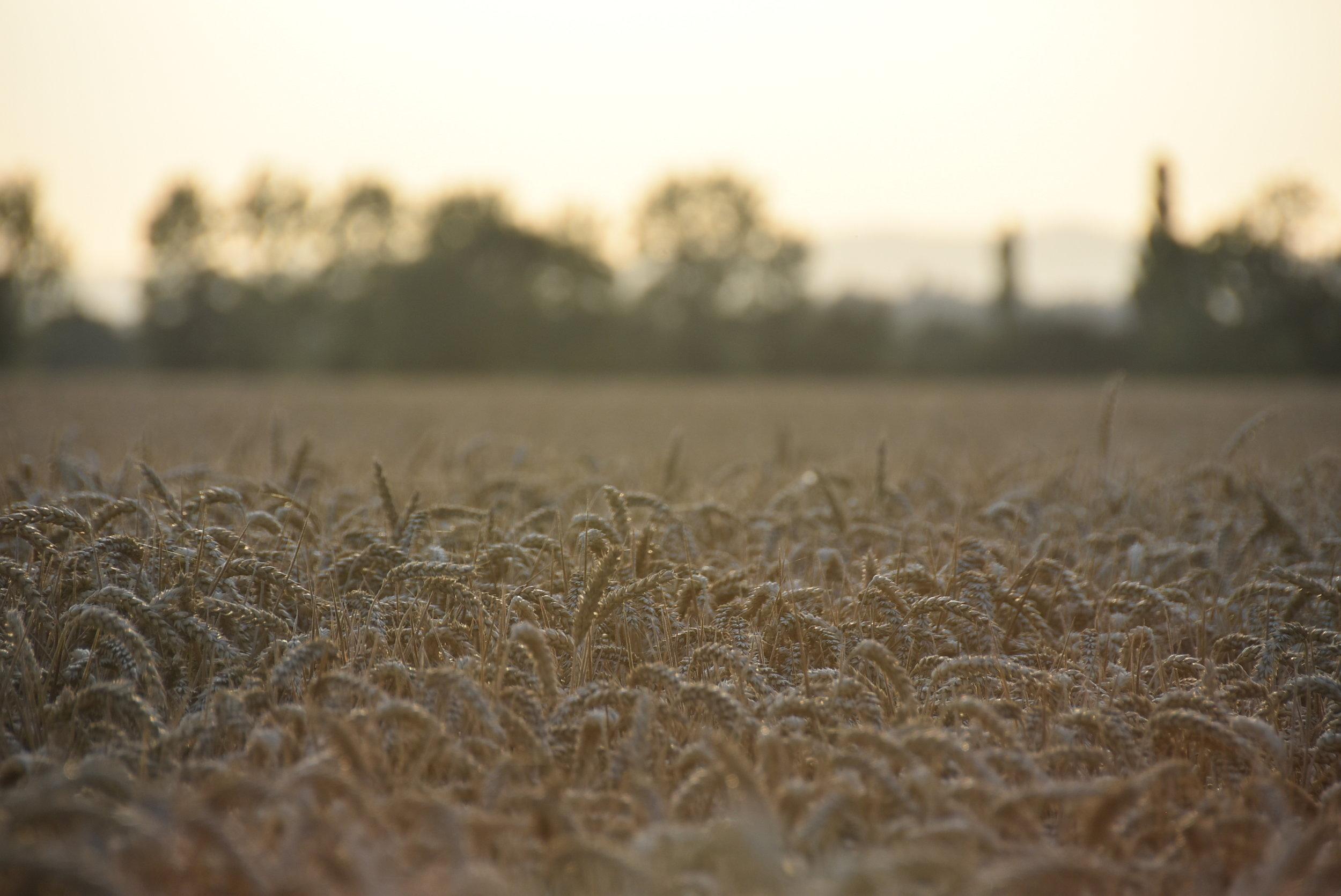 Summer - field of wheat