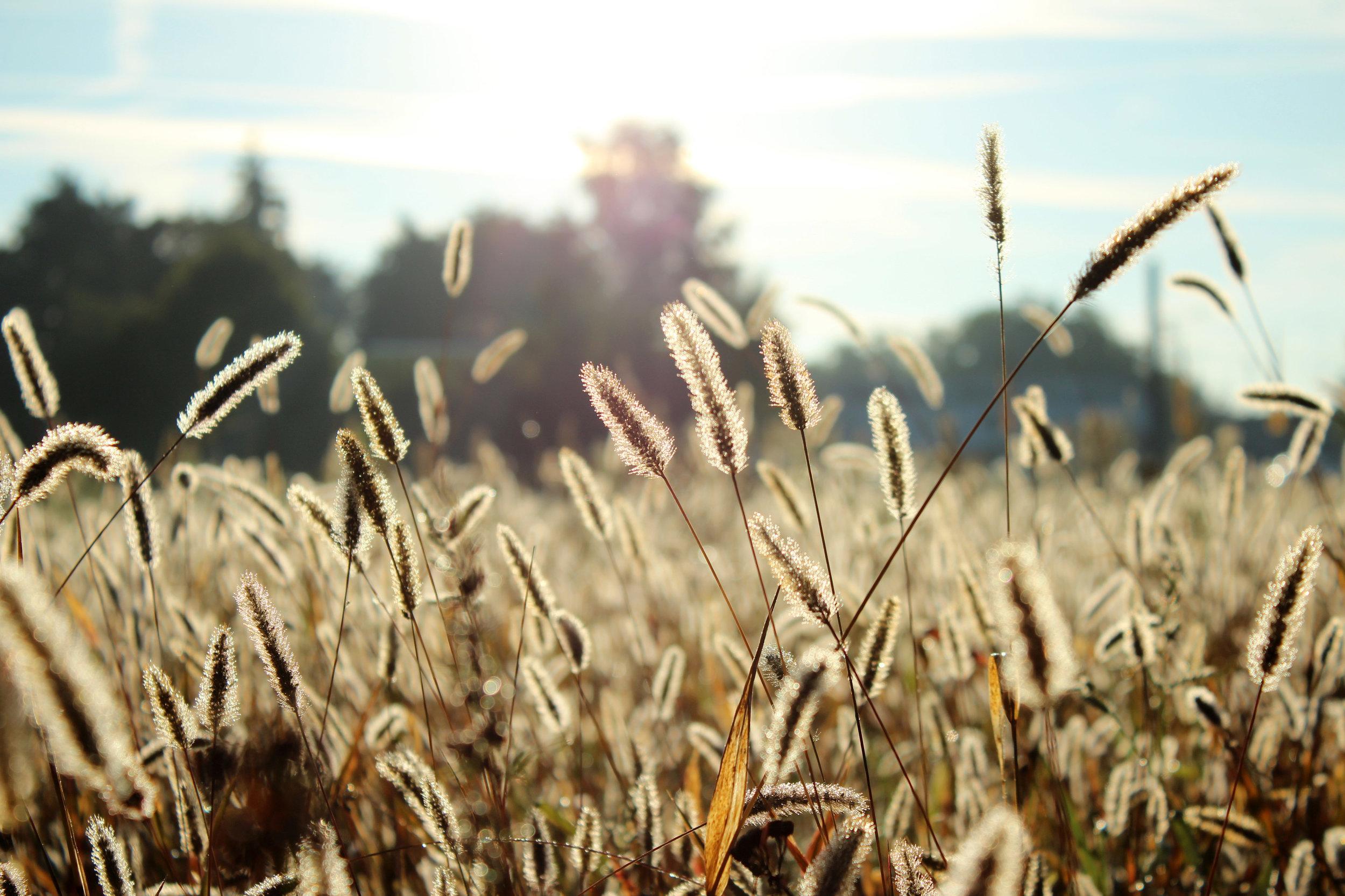 wheats-stalks-growing.jpg