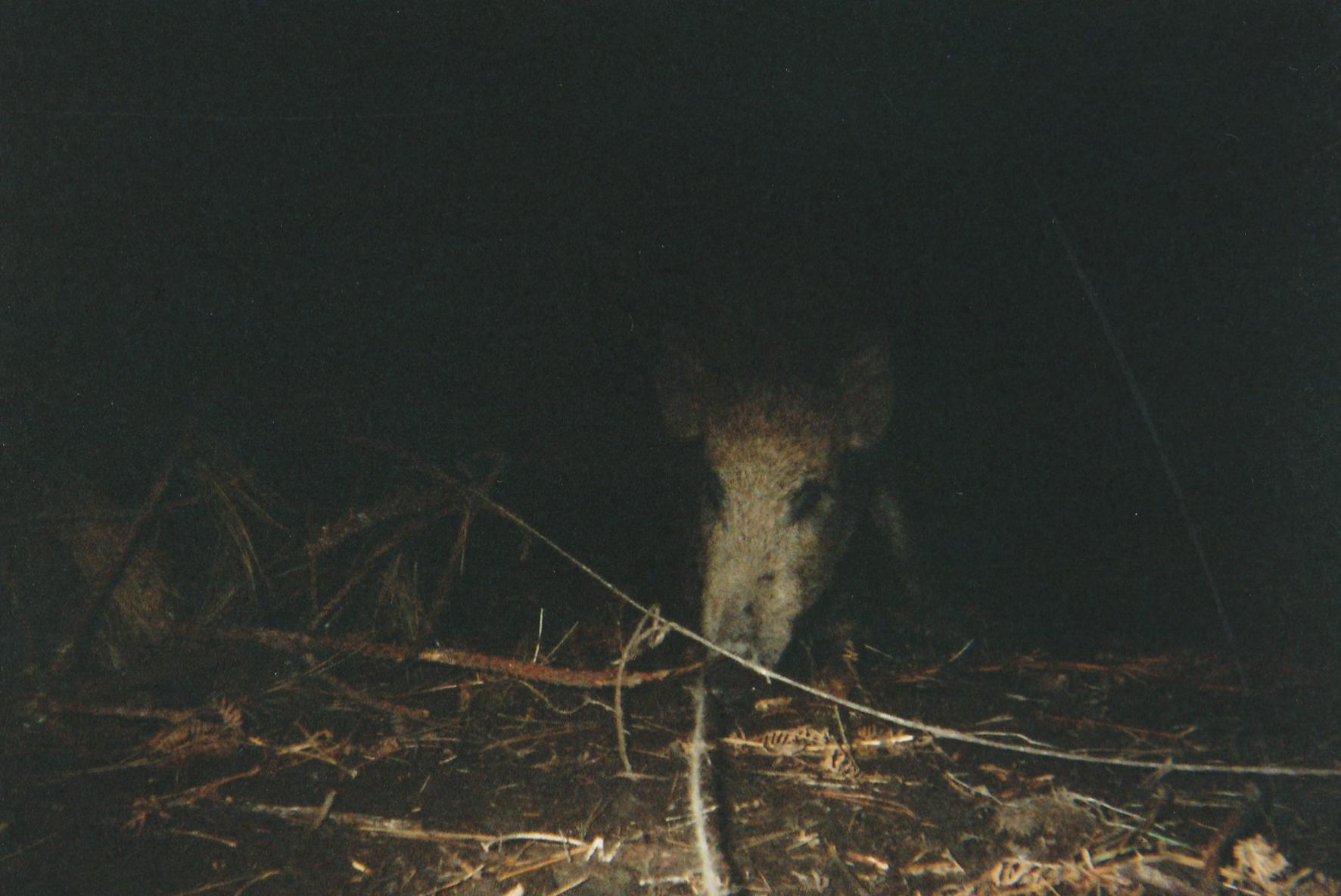 Wild Boar Photos 02.jpg