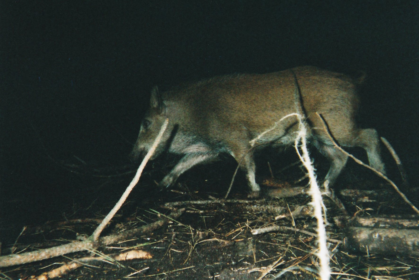Wild Boar Photos 04.jpg
